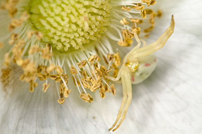 Flower Crab Spider (<em>Misumena vatia</em>)
