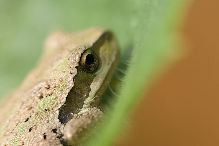 Pacific Tree Frog #1